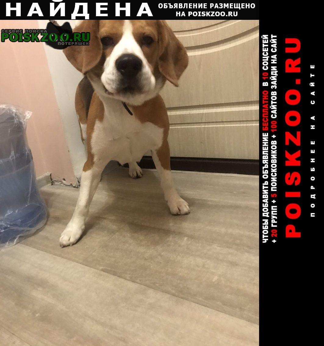 Найдена собака породы бигль, кобель, р-н сельма Калининград (Кенигсберг)
