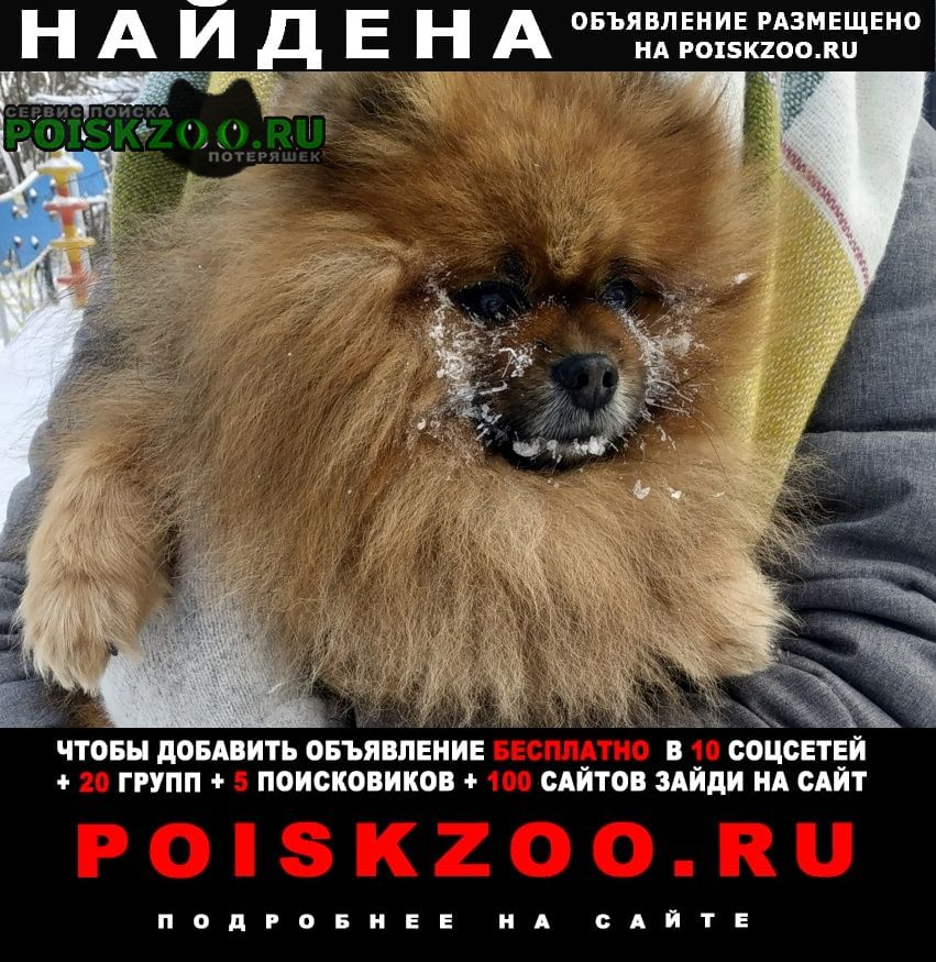 Найдена собака шпиц Москва