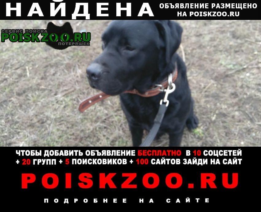 Найдена собака возможно кане корсо, или лабрадор Шахты