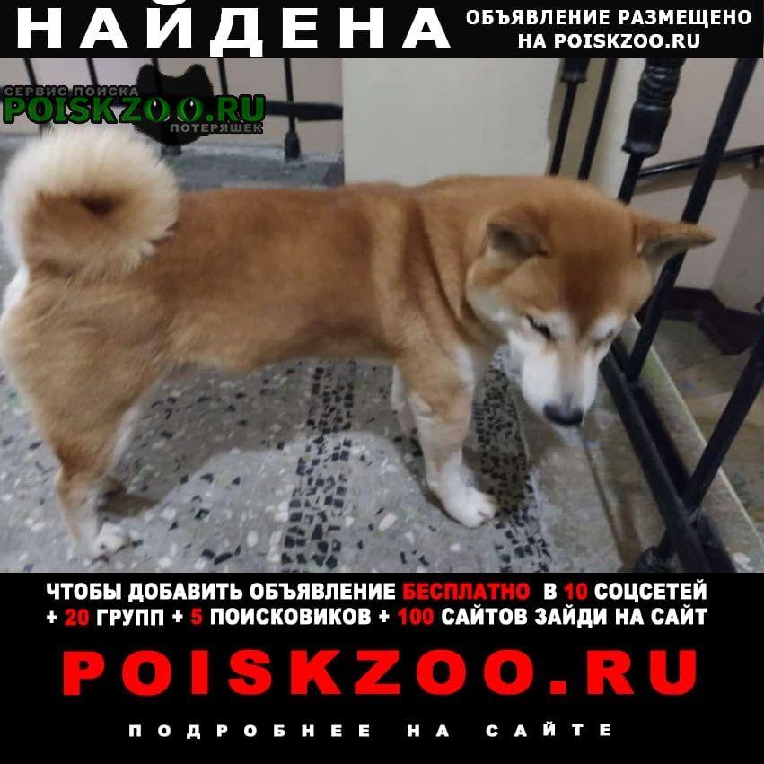 Найдена собака кобель сиба-ину Санкт-Петербург