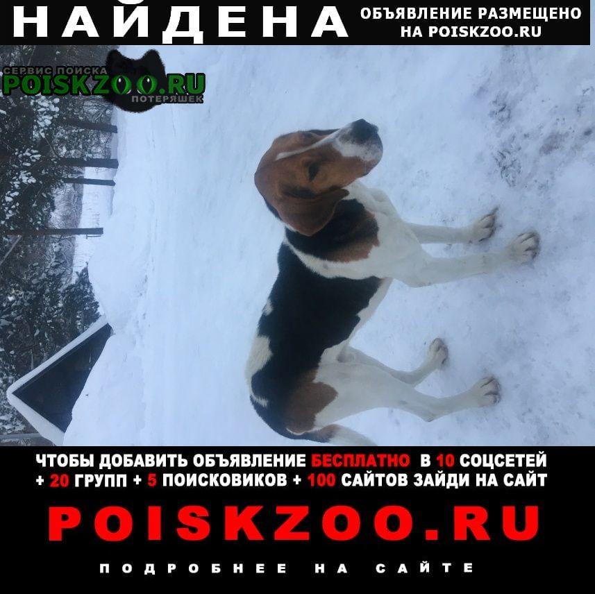 Найдена собака русская пегая гончая Жуков