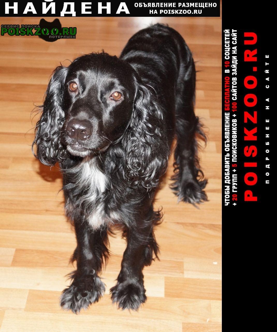 Найдена собака мальчик, кокер спаниель Самара