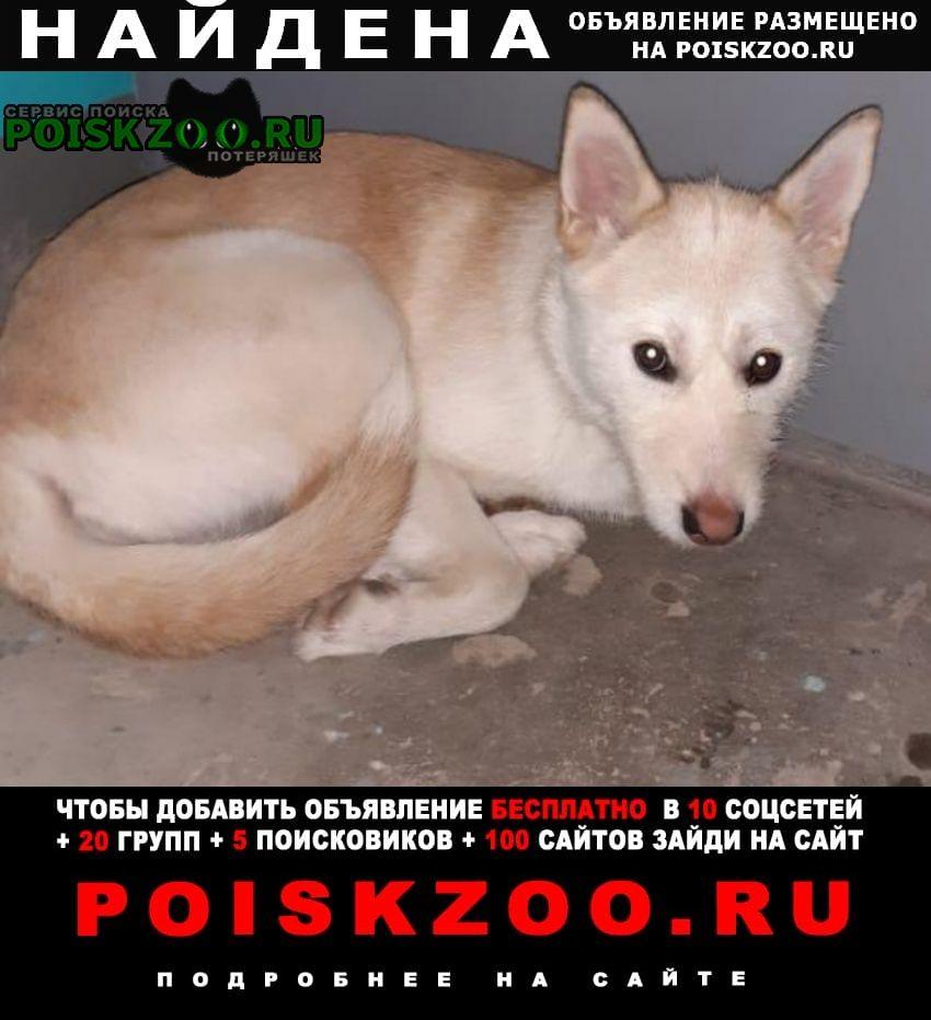 Найдена собака девочка, похожа на метиса акита-ину Казань