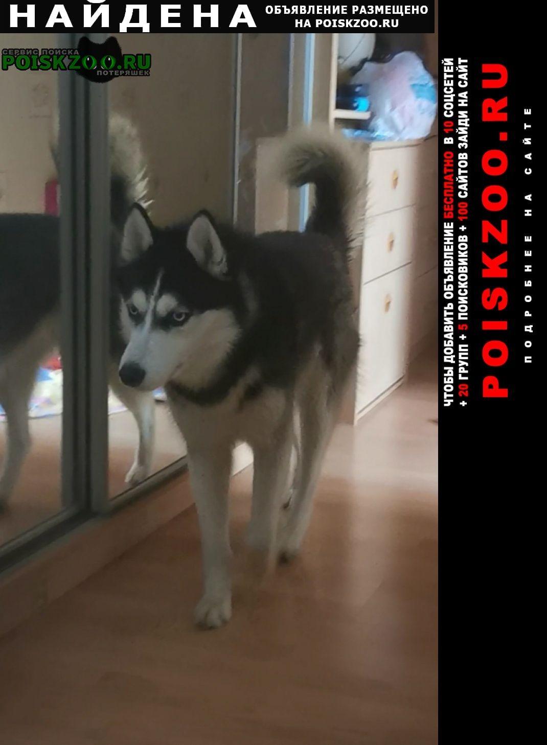 Найдена собака мальчик хаски, 1 год Домодедово
