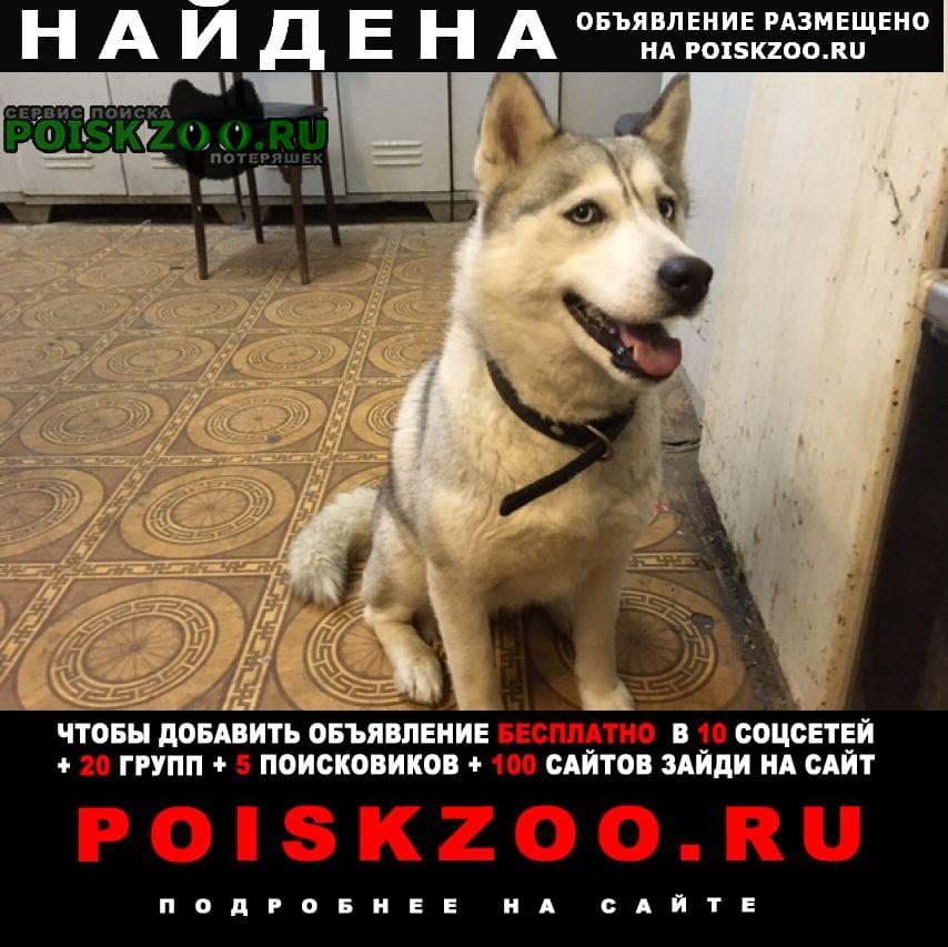 Найдена собака хаски Саратов