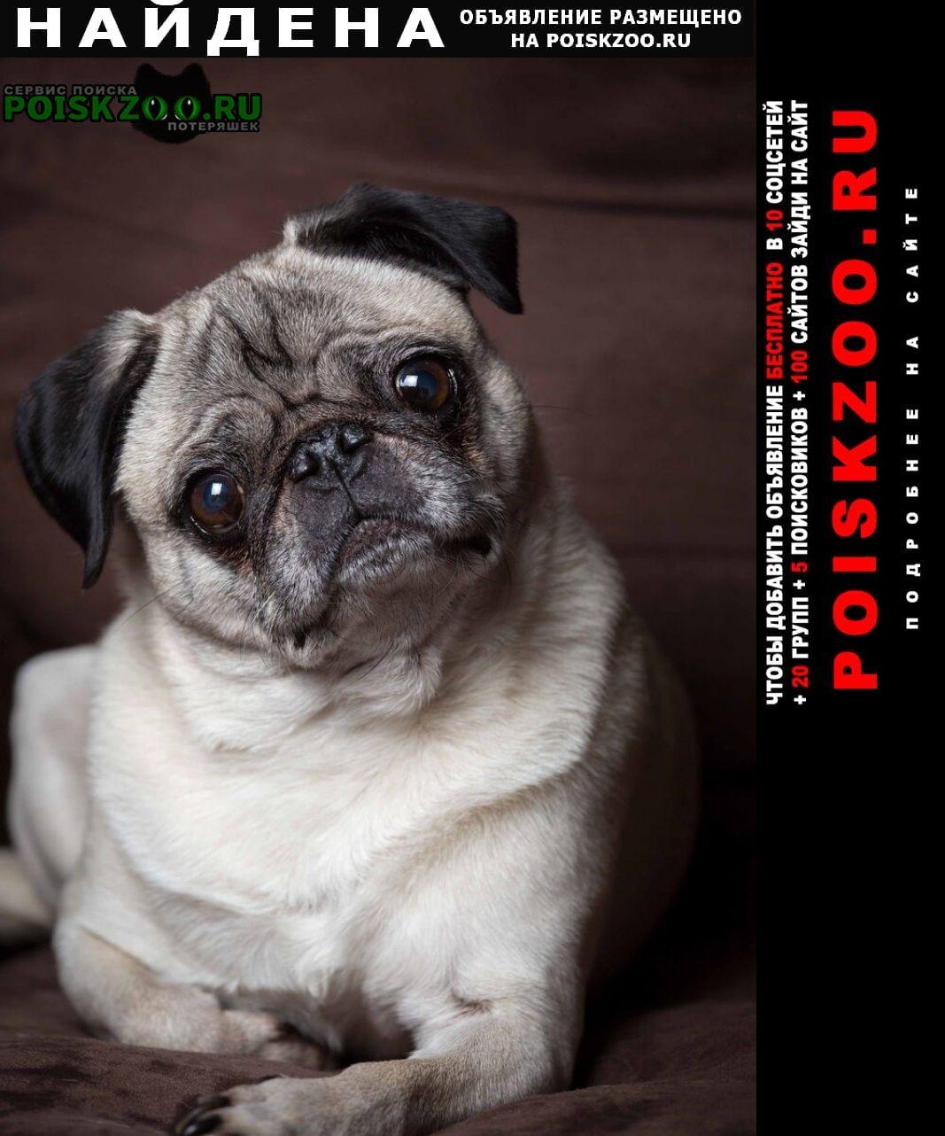 Найдена собака мопс кобель Нижний Тагил