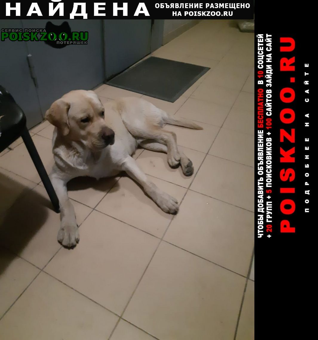Найдена собака лабрадор кобель Сочи