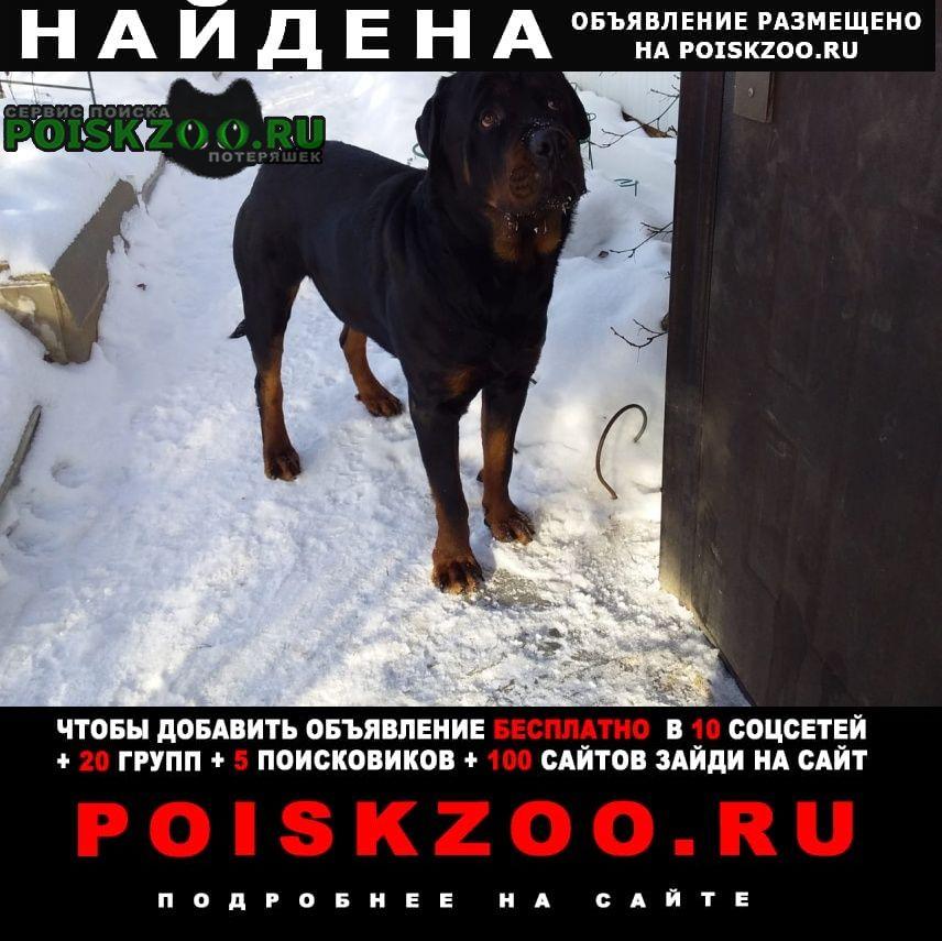 Найдена собака ротвейлер кобель 1, 5-2 года Дмитров