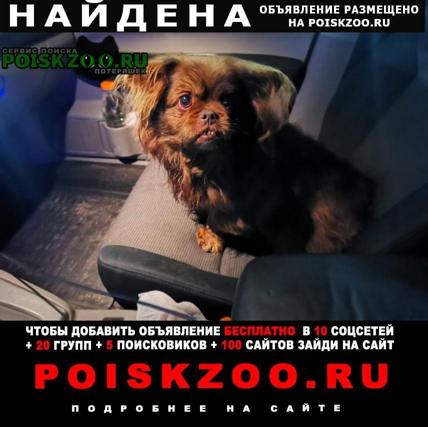 Найдена собака болонка Павловская