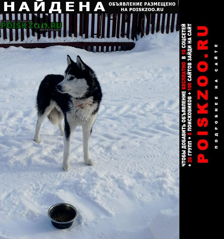 Найдена собака мальчик, примерно год, хаски, пожитково Нарофоминск