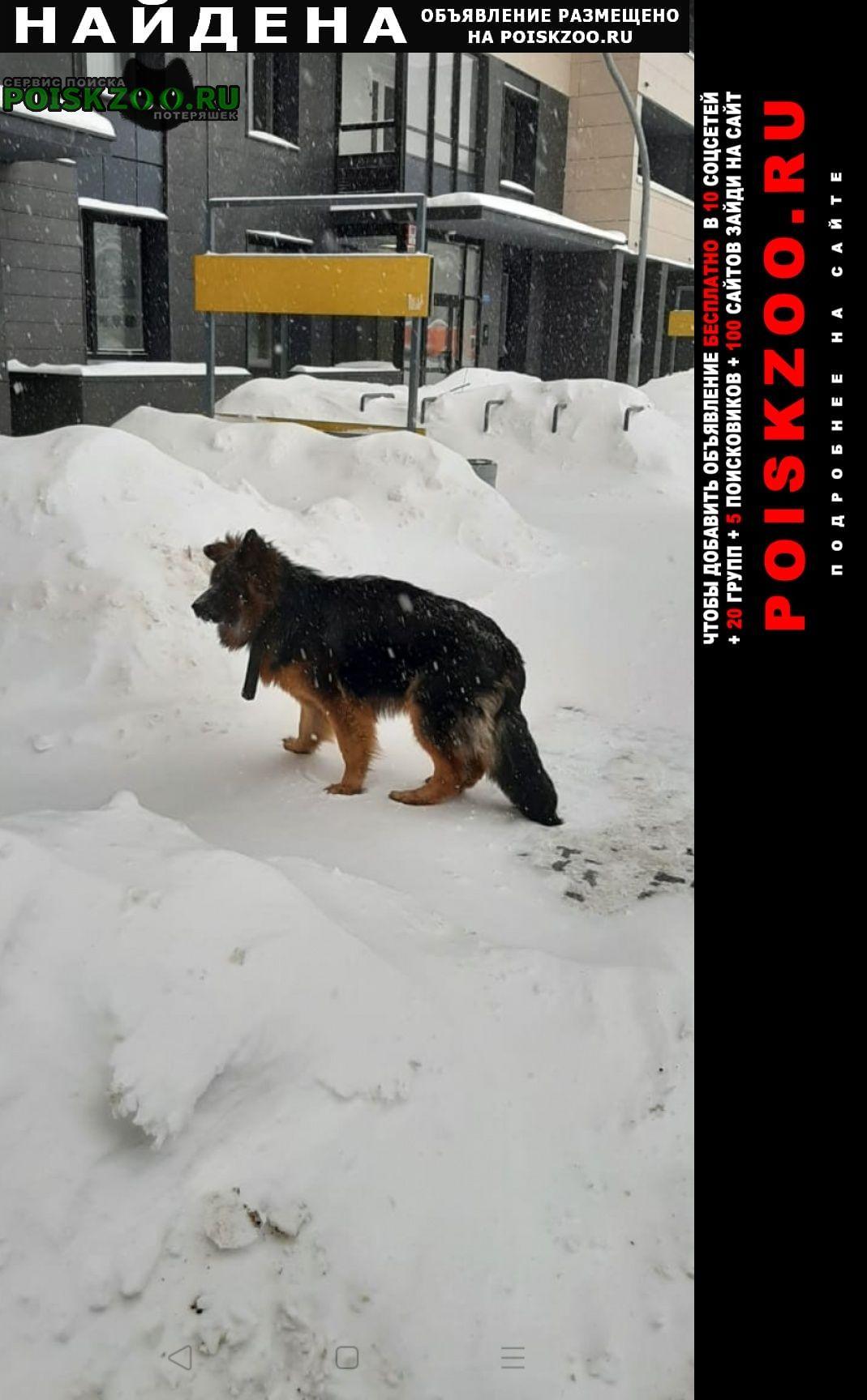 Найдена собака немецкая овчарка Обнинск