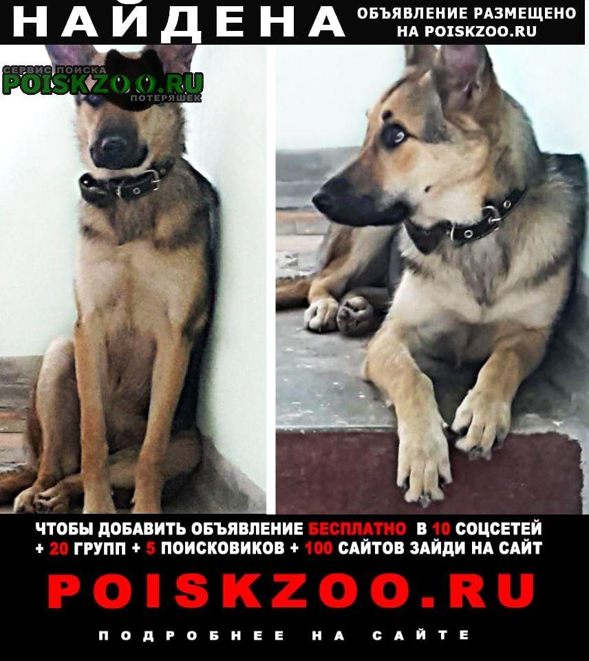 Найдена собака, молодая метис овчарки, мо Красногорск