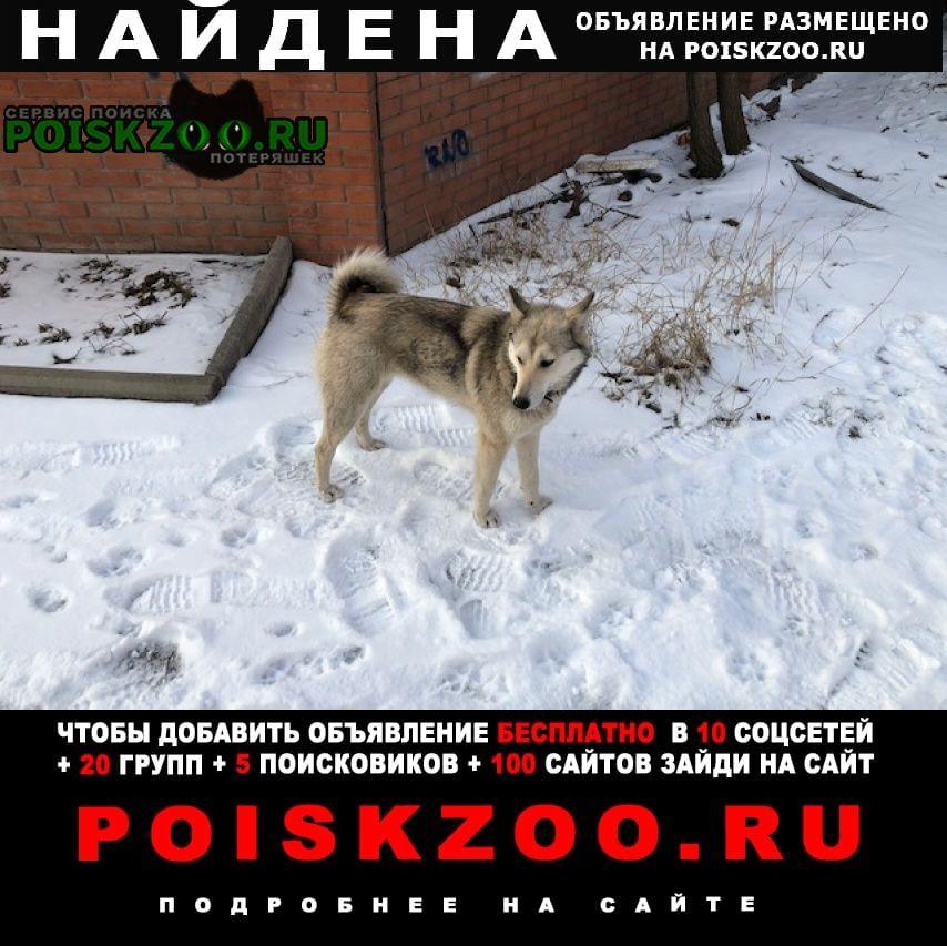 Найдена собака молодая западно-сибирская лайка. Новочеркасск