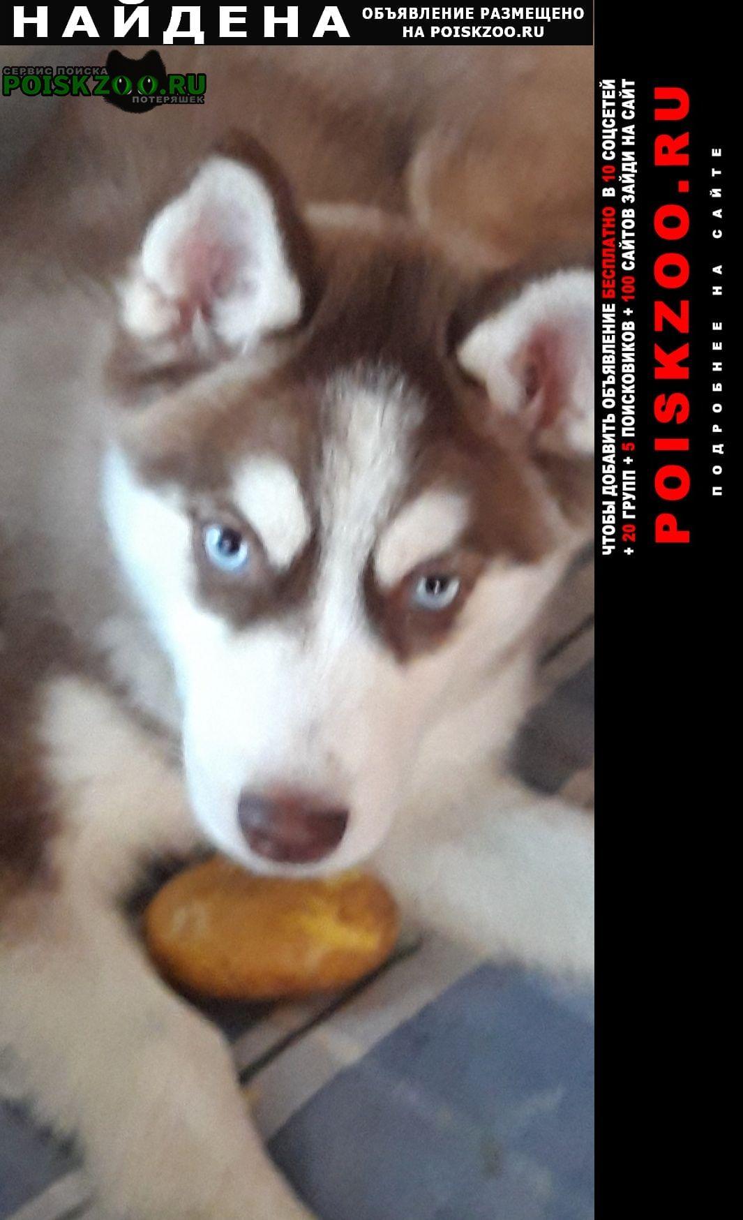 Найдена собака западный м-он. щенок хаски Ростов-на-Дону