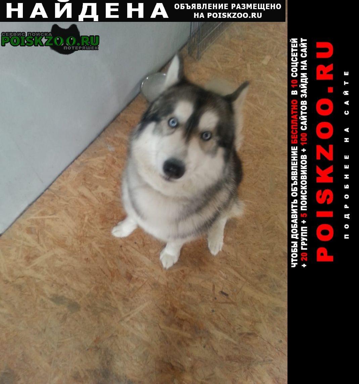 Найдена собака хаски Руза
