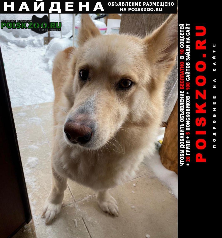 Найдена собака кобель метис корги Малаховка