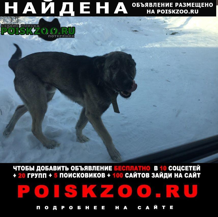 Найдена собака кобель ищет хозяина Березовский (Свердловская обл.)