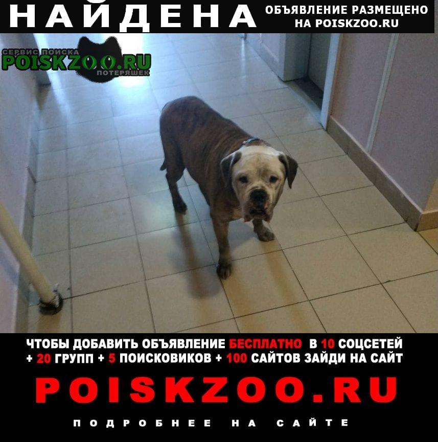 Найдена собака кобель американский бульдог Балашиха