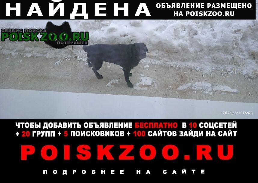 Найдена собака кобель лабрадор Иркутск