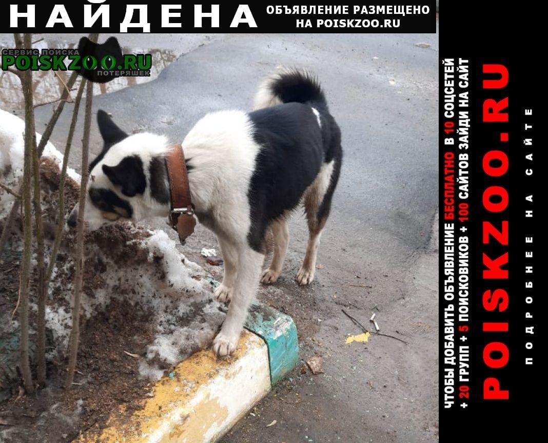 Найдена собака черно-белая лайка, с ошейником. Истра