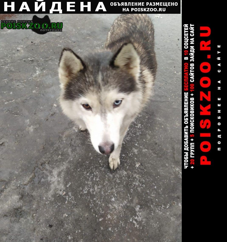 Найдена собака хаски молодое животное Электроугли