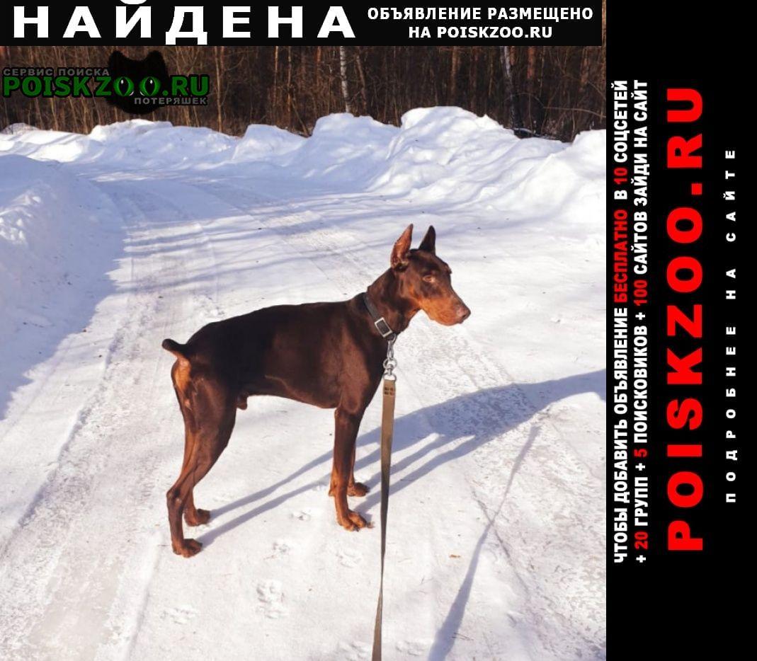 Найдена собака кобель доберман Егорьевск