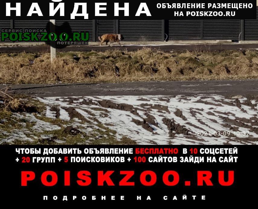 Найдена собака бегает взрослая, колли Гурьевск (Калининградская обл.)