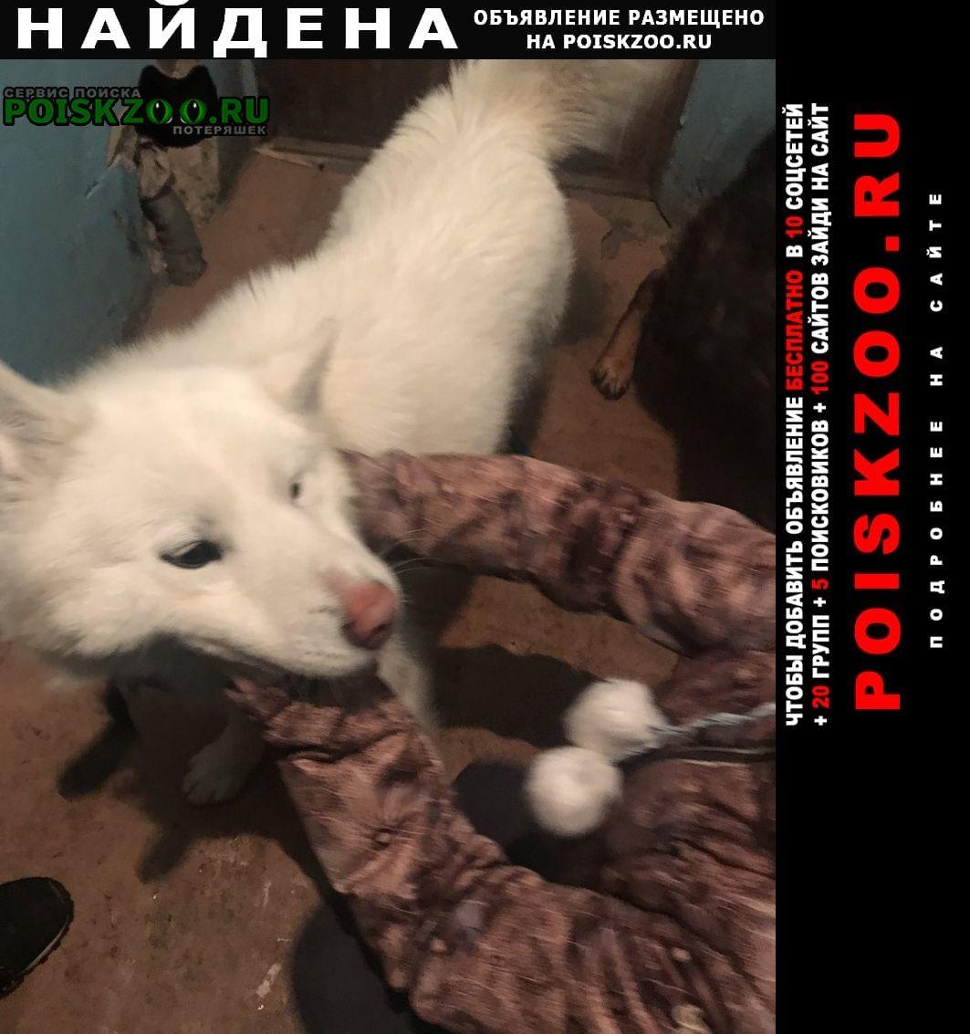 Найдена собака кобель самоед Челябинск