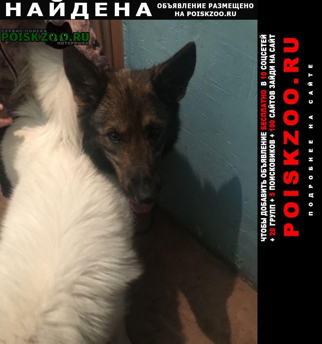 Найдена собака помесь овчарки Челябинск