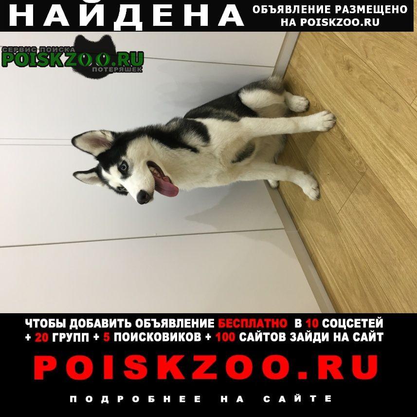 Найдена собака породы хаски Пушкино