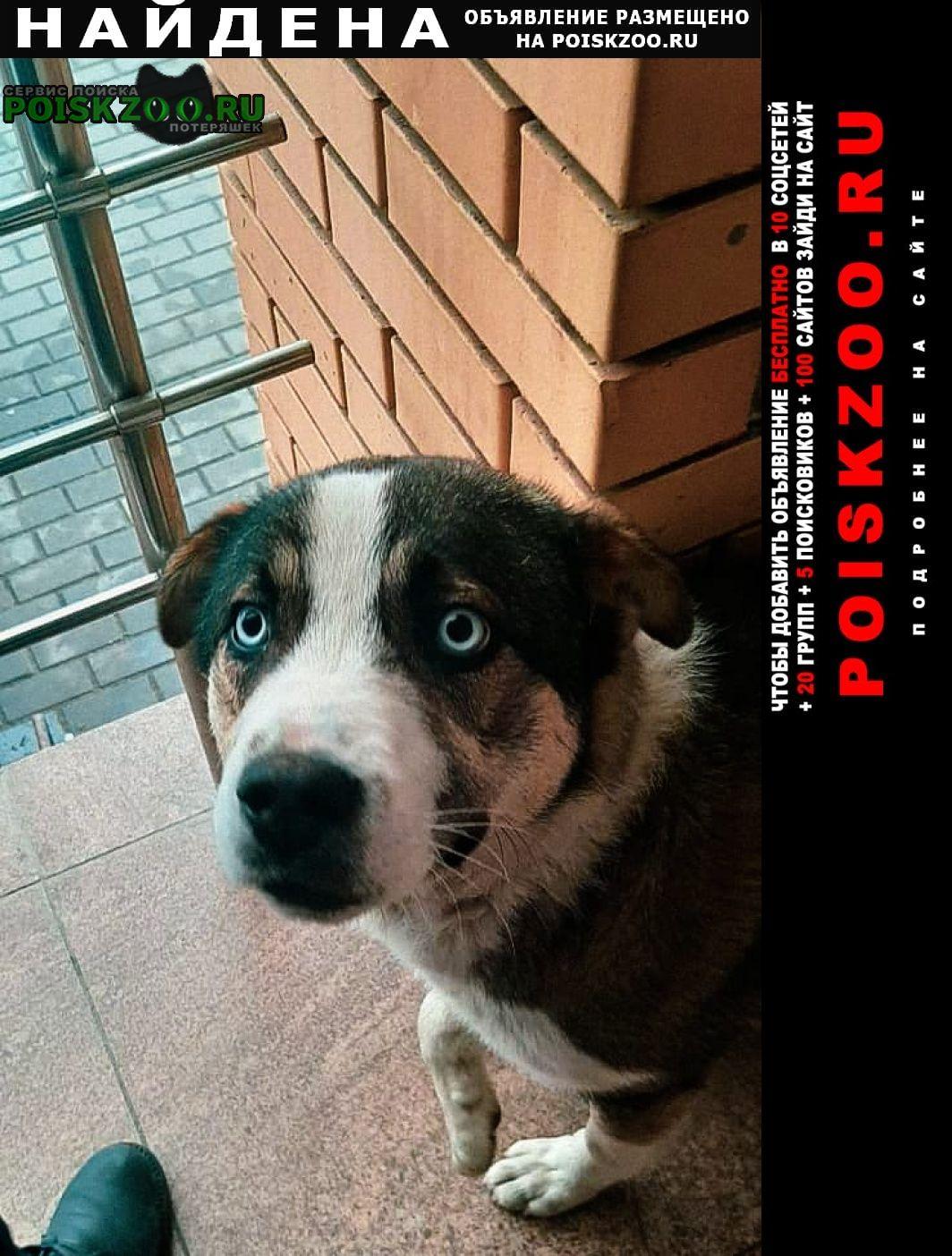Найдена собака кобель метис хаски или маламута Воронеж