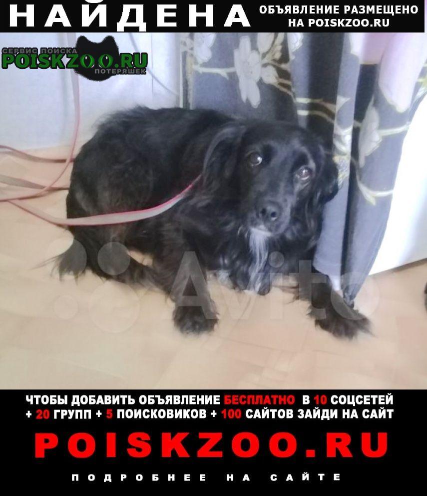 Найдена собака спаниель Тольятти