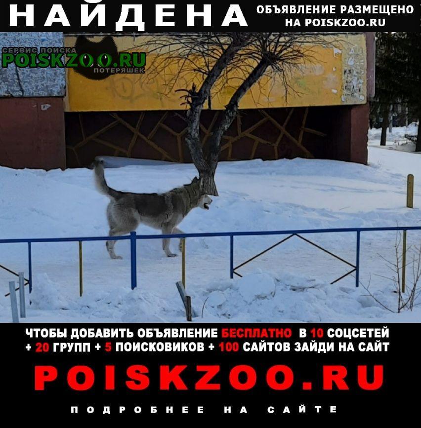 Найдена собака хаски (као, б-р зеленый) Омск