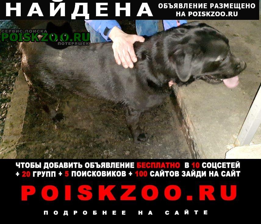 Найдена собака черный лабрадор Ростов-на-Дону