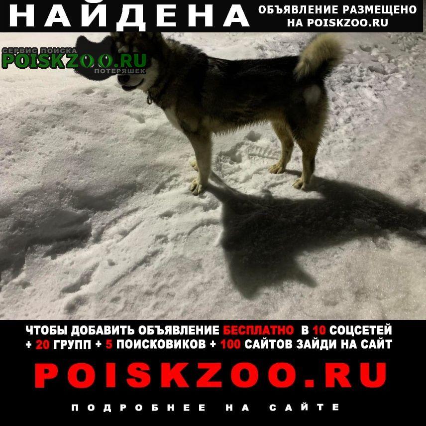 Найдена собака кобель хаски Владимир