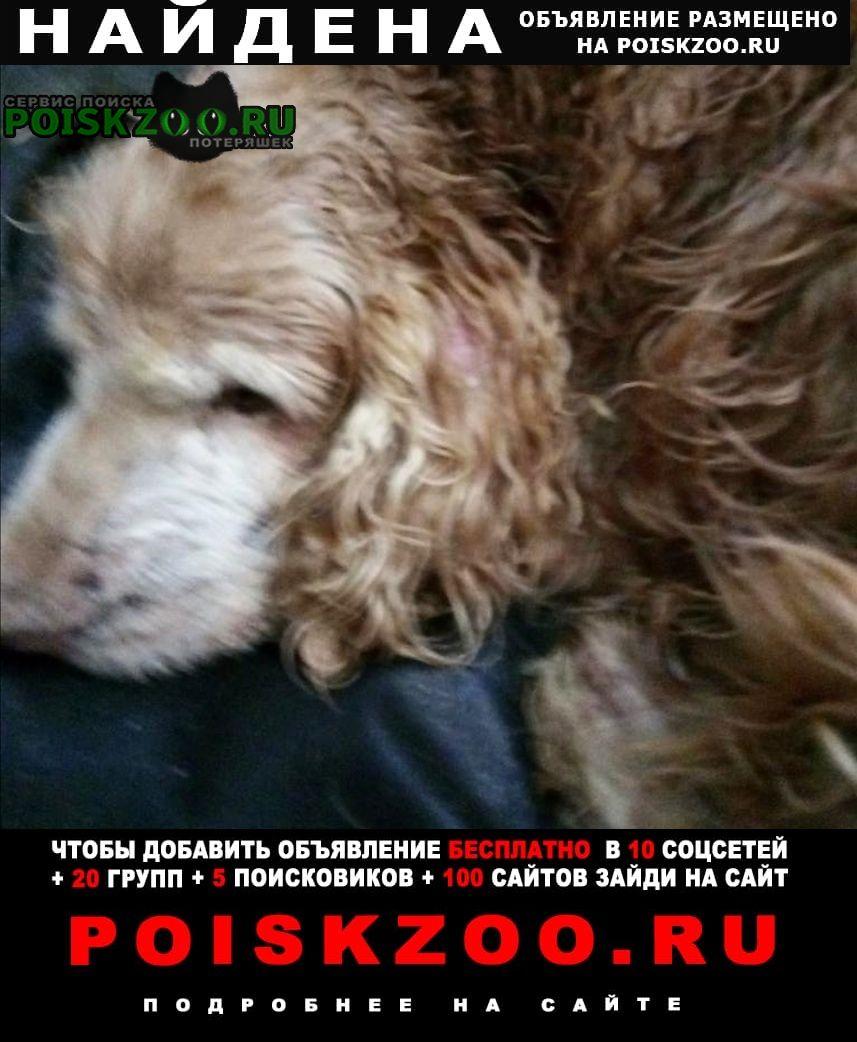 Найдена собака кобель спаниель Воскресенск