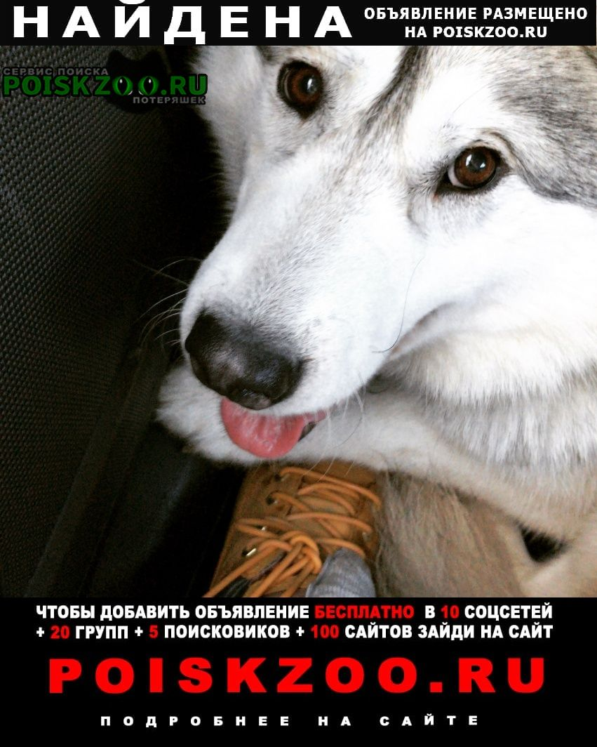 Найдена собака хаски девочка Мытищи