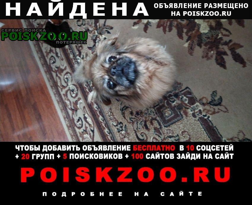Найдена собака девочка пекинеса Тула