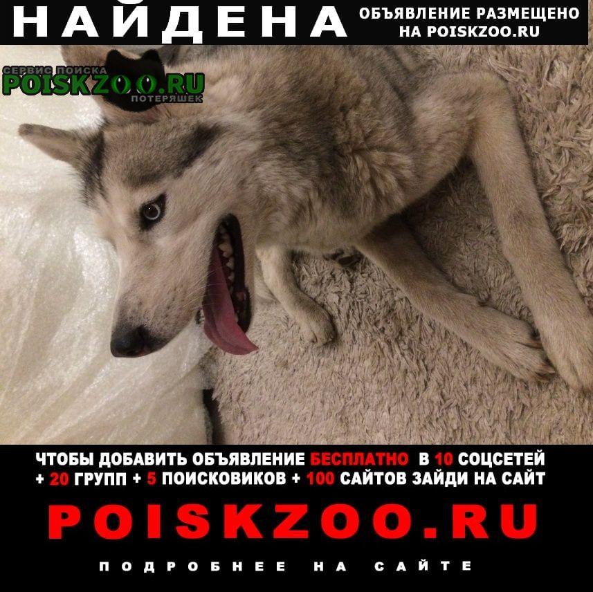 Найдена собака хаски Воронеж