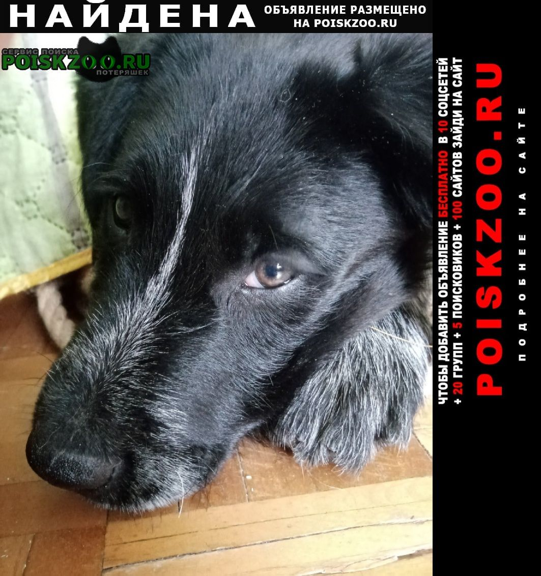 Найдена собака кобель щенок породы дратхаар Пущино