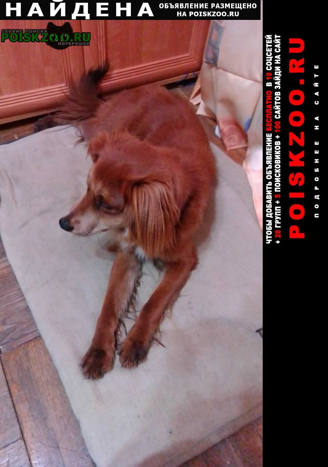 Найдена собака кобель метис спаниеля Павловский Посад