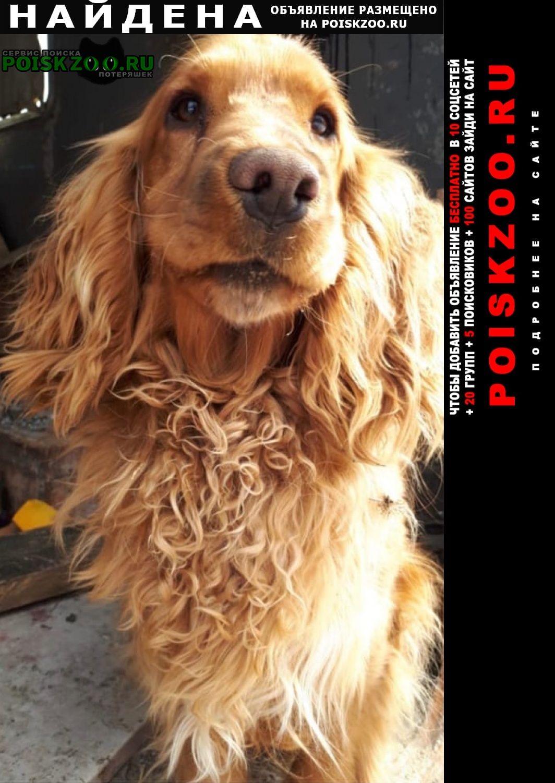 Найдена собака спаниель одинцовский район вяземы Одинцово