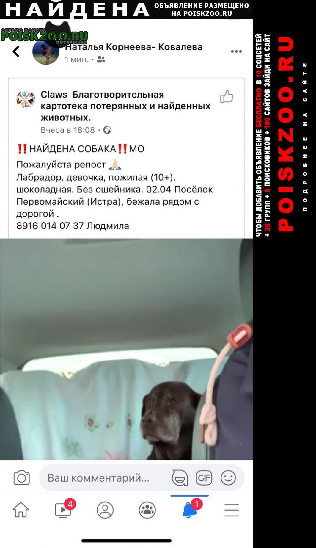 Найдена собака коричневый лабрадор Истра