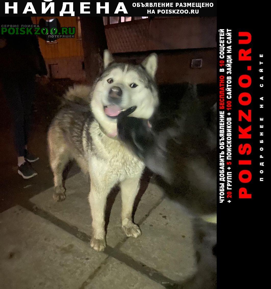 Найдена собака кобель маламут, ухоженный, с ошейником. Симферополь