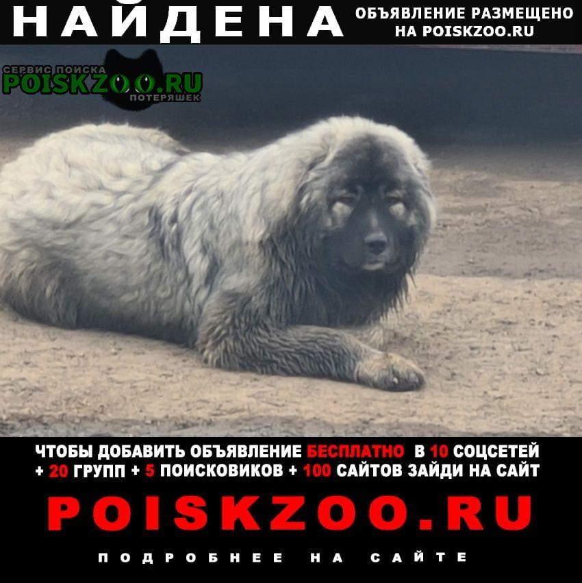 Найдена собака щенок кавказкой овчарки серого цвета Пермь