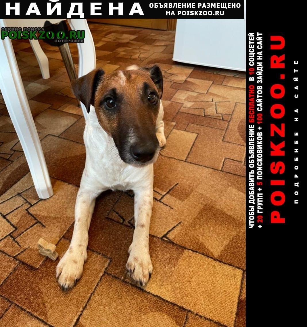 Найдена собака кобель фокстерьер Звенигород