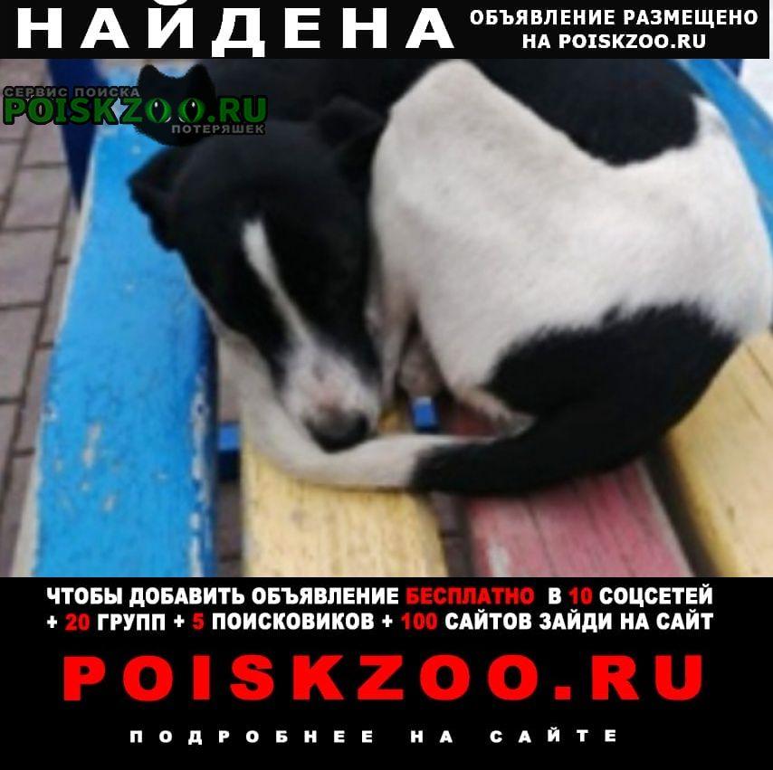 Найдена собака бело-чёрная гладкошерстная Омск