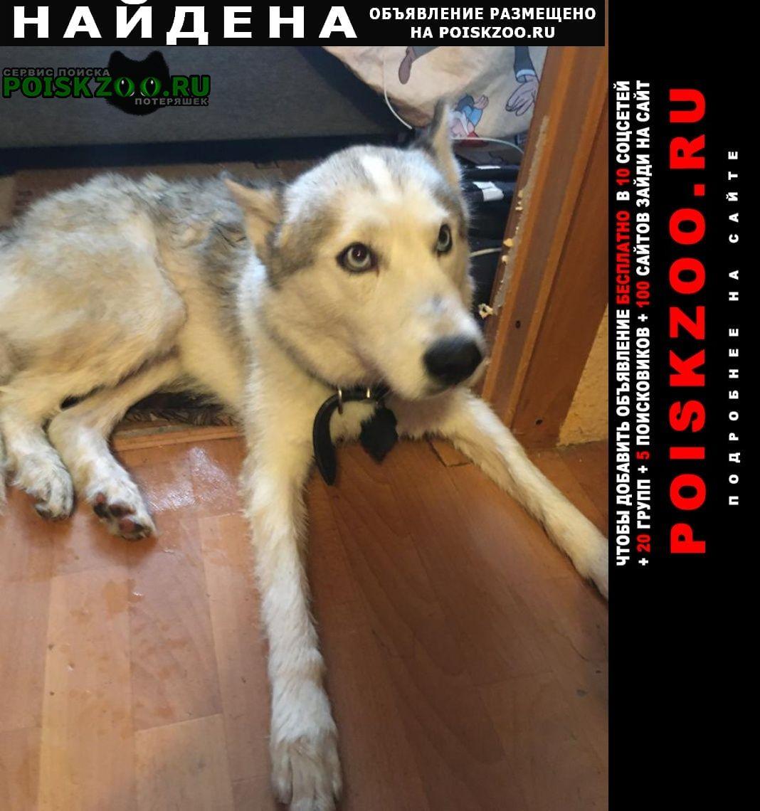 Найдена собака кобель хаски Санкт-Петербург