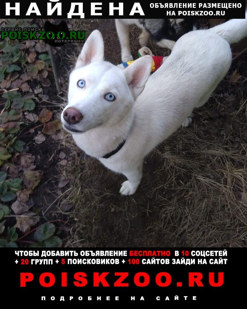 Найдена собака молодая белая хаски Москва