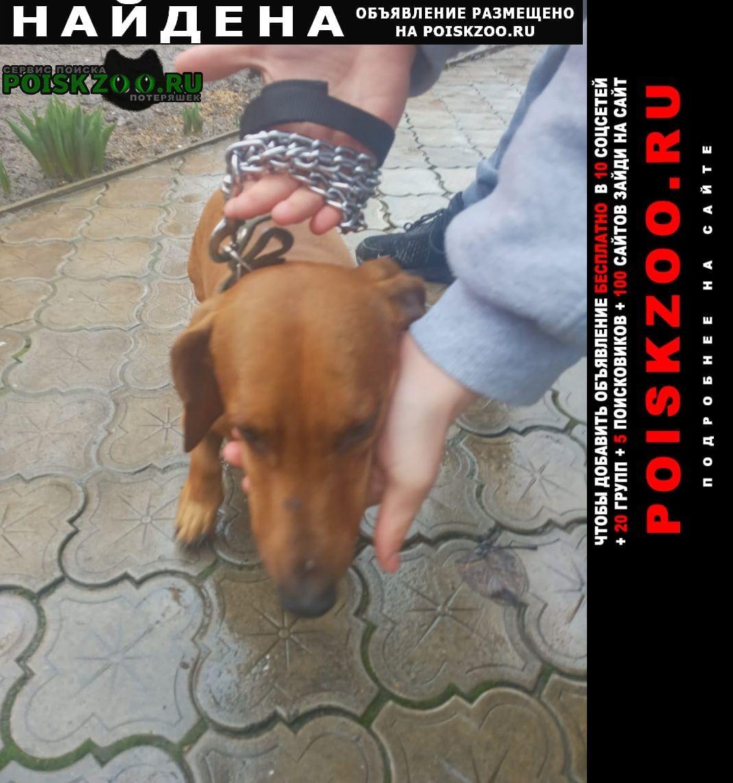 Найдена собака кобель такса мальчик Ростов-на-Дону